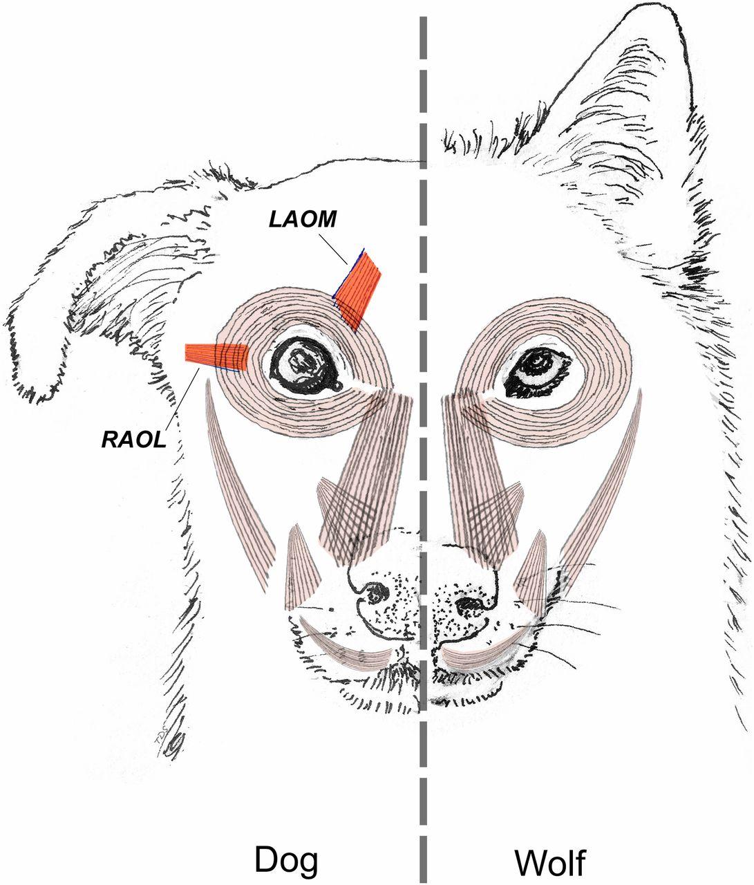 Kaminski Evolution Dog Face